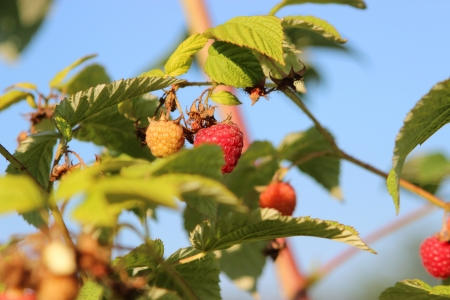 Some ripening raspberries on the bush in a kitchen garden Stock Photo