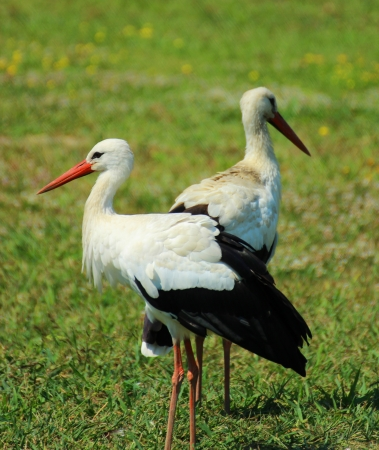 ciconiiformes: Adult stork in a Hungarian zoo - nature photography