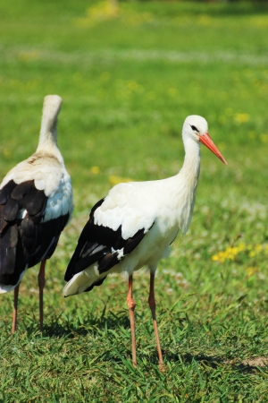 Adult stork in a Hungarian zoo - nature photography photo