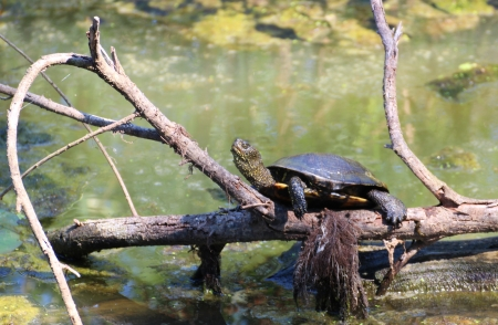 Turtle is doing sunbath on a dead branch