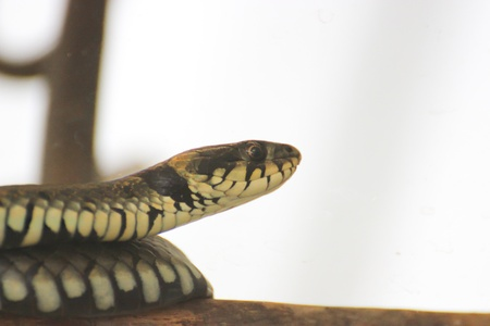 Grass snake is on a dead branch - reptile photography Stock Photo