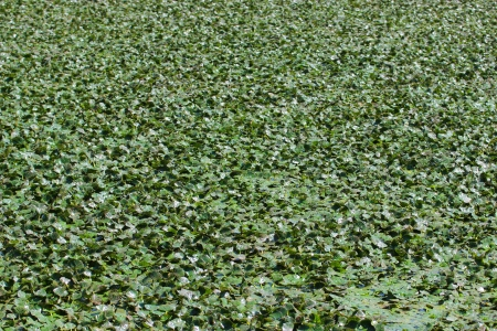 dense mats: Water vegetation on Lake Tisza in Hungary