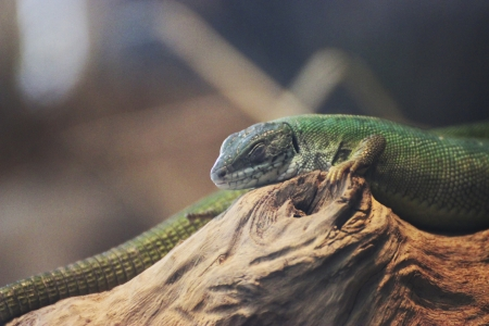 Close up picture from a green pizard