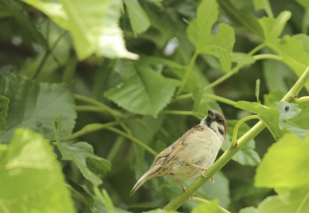 bough: Common sparrow is watching on a bough Stock Photo