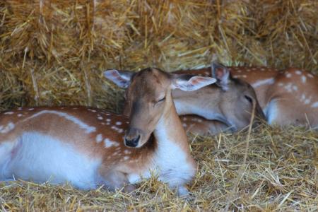 deer lies on the earth - animal photography photo