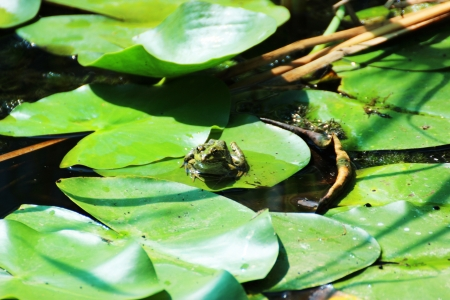 Frog on leaves in a lake  Stock Photo