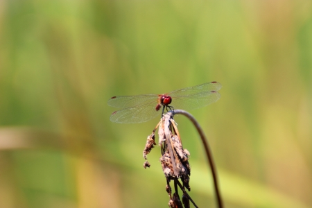 trithemis: Dragonfly is resting
