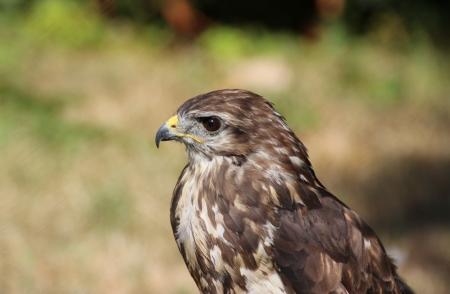 buzzard: Hawk in a hungarian bird park - bird photography Stock Photo