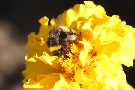 Bumble bee is working on a flower - insect phoography