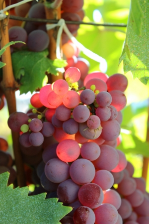 Grapes in the autumn - nature photography Banco de Imagens - 22338235