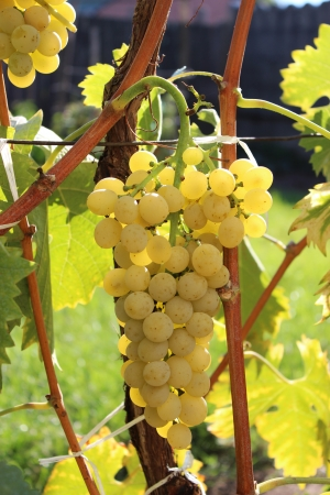 Grapes in the autumn - nature photography