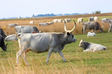 Hungarian gray cattle on the Hungarian National Park in Hortobagy