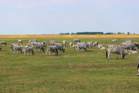 Hungarian gray cattle on the Hungarian National Park in Hortobagy Banco de Imagens - 22524125