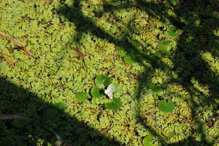 dense mats: Frog-bits floating in a pond - wild nature photography Stock Photo