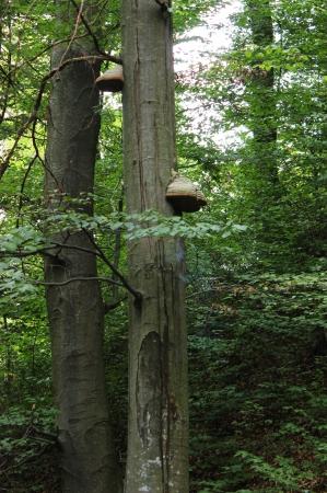 grew: Large fruit body of perennial tinder mushroom that grew on the beech tree trunk