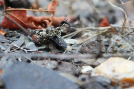 Grashopper on the ground - insect photography Stock Photo