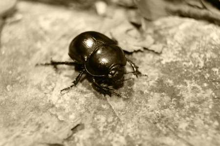 clustered: Close-up of an earth-boring dung beetle (Geotrupidae) on the forest floor  Stock Photo
