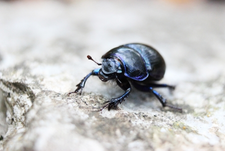 geotrupidae: Close-up of an earth-boring dung beetle (Geotrupidae) on the forest floor  Stock Photo