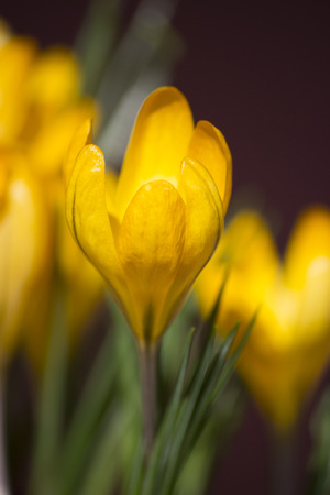Yellow crocus flowers in the spring time Stock Photo
