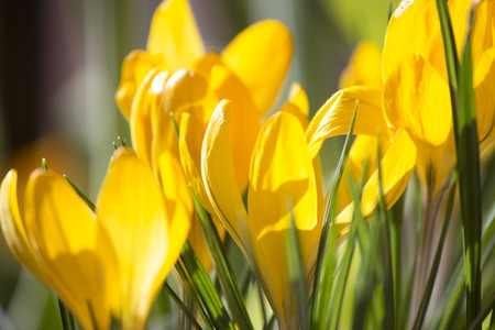 Yellow crocus flowers in the spring time