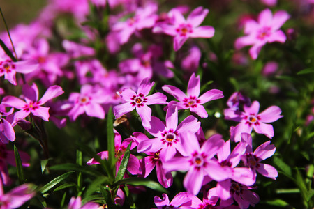 Phlox subulata - outdoor nature and flower