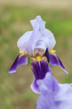 iris flower blooming in the garden - flower photography
