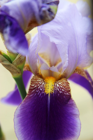 iris flower blooming in the garden - flower photography photo