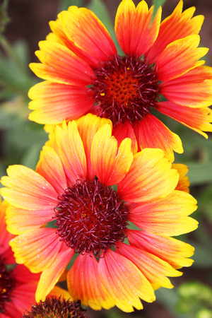 Close up picture from Gaillardia or Blanket flower in the garden