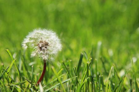 dandelion on green grass