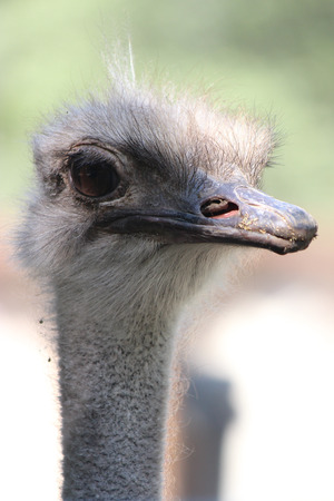 Ostrich or Common Ostrich (Struthio camelus)