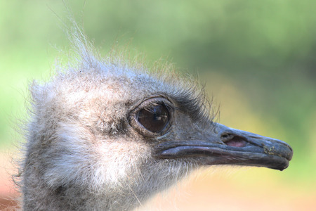 Ostrich or Common Ostrich (Struthio camelus)   Stock Photo