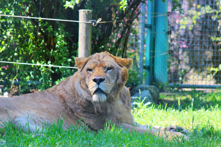 Young male lion is lying in the grass