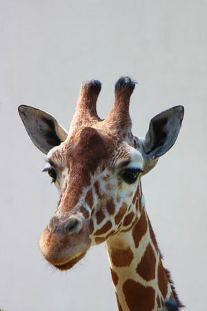 Close up picture from a giraffe head