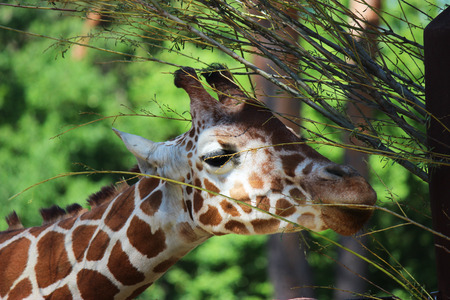 Close up picture from a giraffe head  photo