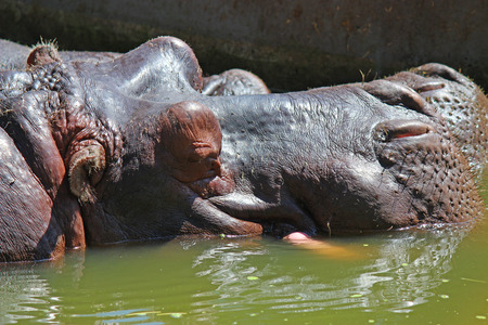 Big hippo in the water - zoo photography photo