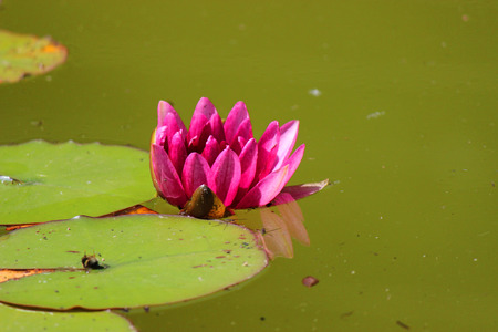 Pink water lilly flower in the water - nature photography photo