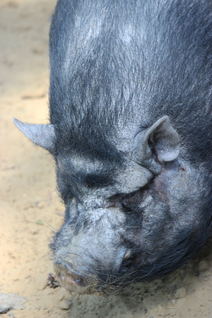 A Vietnamese pot bellied pig - animal photography photo