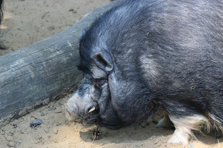 pot bellied: A Vietnamese pot bellied pig - animal photography