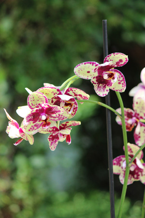 Beautiful orchid - phalaenopsis. Phalaenopsis Dragon Tree photo