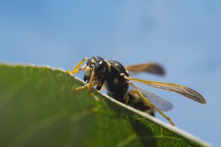 Macro shot of wasp on the green leaf