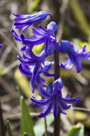 hyacinthus: Colorful hyacinth (Hyacinthus orientale) flowers - outdoor photography