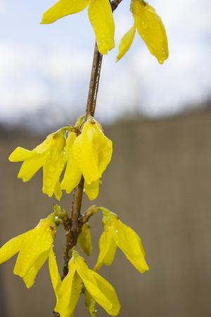 Yellow laburnum flowers in the garden - flower photography