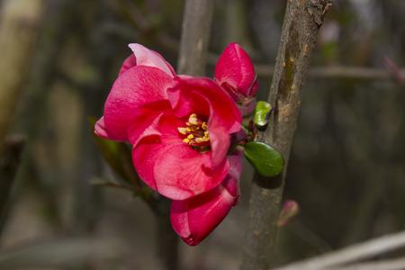 Blossomed tree - Chaenomeles japonica. Stock Photo