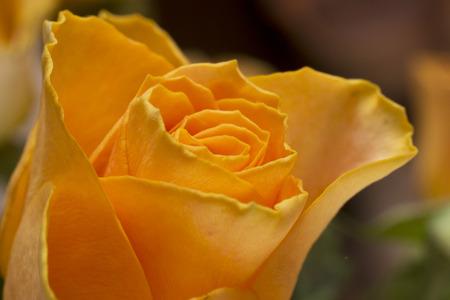 Orange rose flower close up picture
