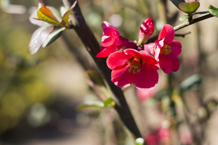 Japanese quince in the garden . Stock Photo