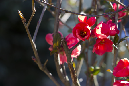 Japanese quince in the garden . flower photogrphy