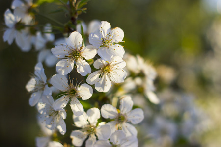 Blossoming sour cherry on a branch of a tree - nature photography