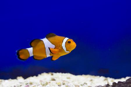 pez payaso: Pescados tropicales del fil�n - Clownfish (Amphiprion ocellaris) - fotograf�a animal