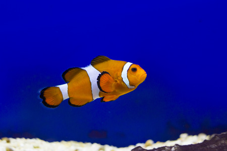 amphiprion ocellaris: Tropical reef fish - Clownfish (Amphiprion ocellaris)  - animal photography