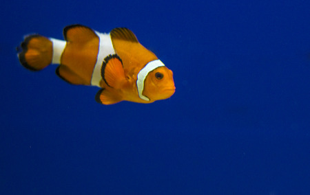 Tropical reef fish - Clownfish (Amphiprion ocellaris)  - animal photography